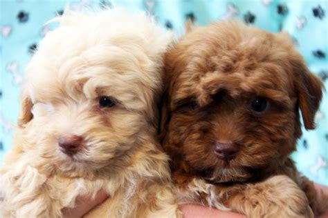 havanese dogs for sale in 17 best ideas about havanese puppies for sale on havanese puppies