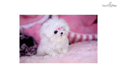 posh puppies maltese puppy for sale near richmond virginia 636c7cf0 3701