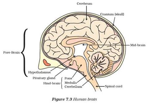 Label Diagram Of Brain