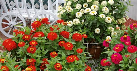 Heat Tolerant Flowers For Planters by Heat And Drought Tolerant Annuals Garden