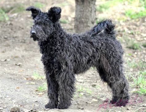 pumi puppies new litter coming pumi puppy for sale airtails