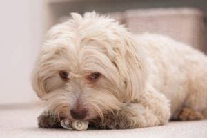 best food for havanese puppies best food for havanese 7 vet recommended brands