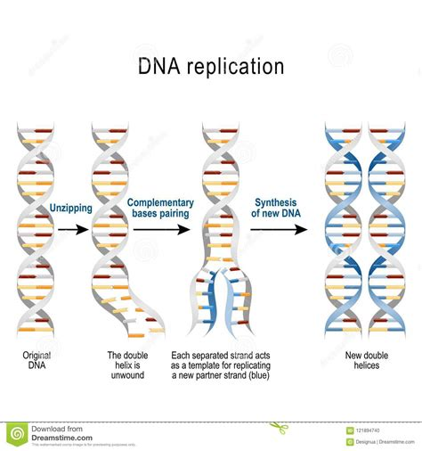 Nice What Acts As The Template In Dna Replication Gallery Professional Resume Templates What Acts As The Template In Dna Replication