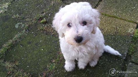 goldendoodle puppy kopen puppyplaats nl puppy dwerg poedel te koop 100 lief