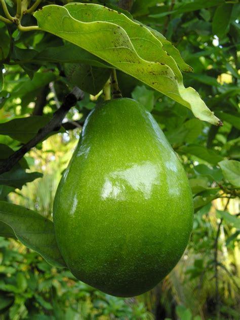 Bibit Alpukat Australia fruits trinidadfruits