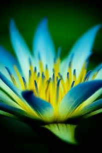 The Blue Lotus Flower Blue Lotus Flowers