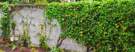 Attache Plante Grimpante by Les Plantes Grimpantes Jardiniers Professionnels