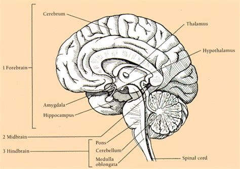 brain midsagittal section right half of brain midsagittal section