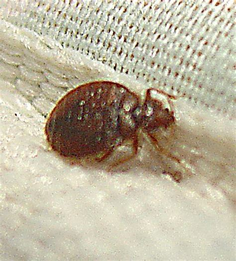 bed bugs on matress bedbugs in mattress covers