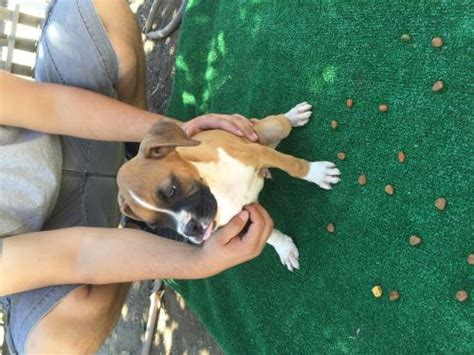 boxer puppies for sale los angeles for sale puppies for sale free ads