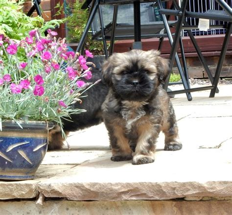 tibetan shih tzu tibetan terrier x shih tzu puppies ready now bolton greater manchester pets4homes