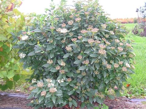 Tailler Laurier Tin by Laurier Tin Viburnum Tinus Taille Bouturage Entretien