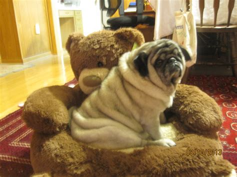 pugs to adopt about bluegrass pug rescue inc bluegrass pug rescue
