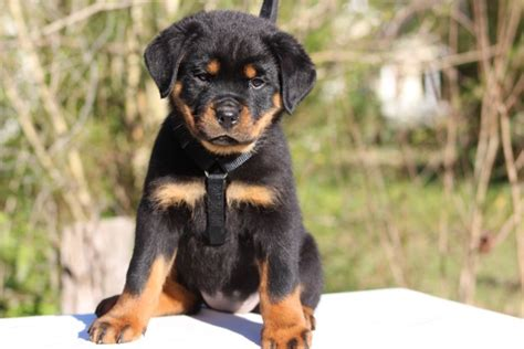 rottweiler jacksonville nc rottweiler puppies nc photo