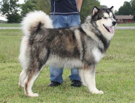 alaskan malamute puppies for sale in pa tatonka alaskan malamutes puppies for sale alaskan malamute