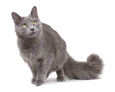 The Nebelung cat: character, behaviour and features   Dogalize