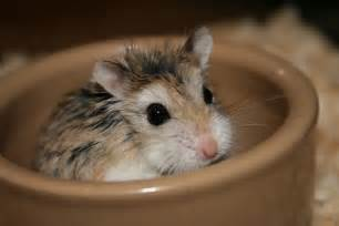 afs petshop general information about roborovski hamsters