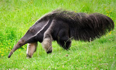 anteater lands  love