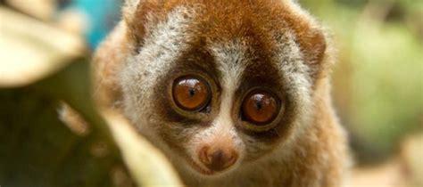 sedere brutto endangered species spotlight loris
