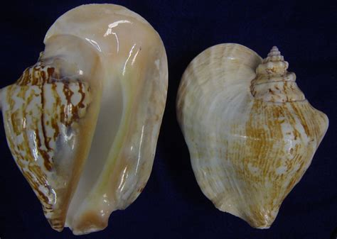 Conch Shell L by Wholesale Seashells From The Shell Store Products Page