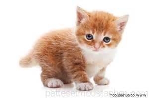 race de chat d interieur photos de nos animaux