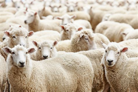 how to a to herd sheep herd of sheep to my