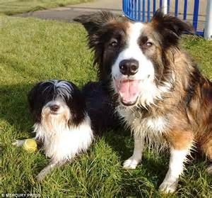 fatty deposits on dogs sheepdog forced to wear children s ski goggles because of eye condition