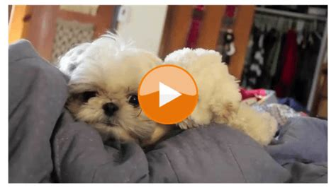 shih tzu stories the right shih tzu haircut shih tzu daily