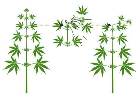 Wann Tomaten Säen 5395 by Cropping Technique In Marijuana Growth Santyerbasi