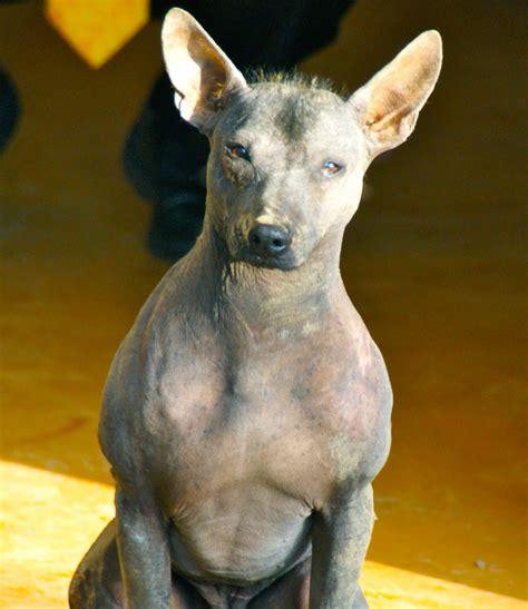 hairless dogs peruvian hairless photo and wallpaper beautiful peruvian hairless