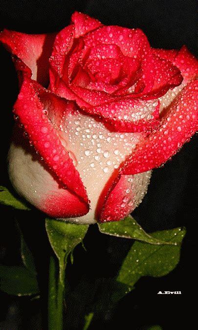 imagenes de rosas movibles y brillantes flores belas e encantadoras rosas