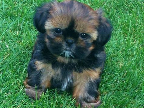 cheap small puppies for sale the 25 best cheap puppies ideas on easy treats