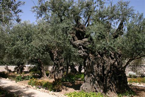 Garden Of Gethsemane Images by Gethsemane A Look At Jesus Prayer Session Vision2hear