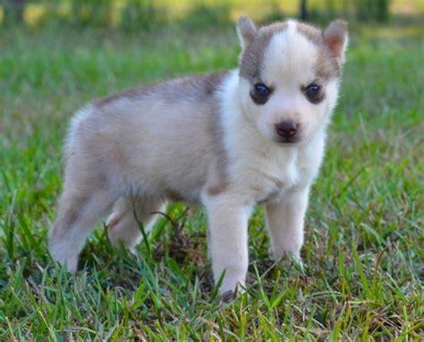 husky puppies for sale michigan kj siberian husky puppies for sale handmade michigan