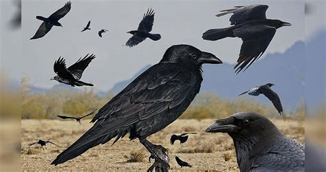 10 interesting facts about ravens unbelievable facts