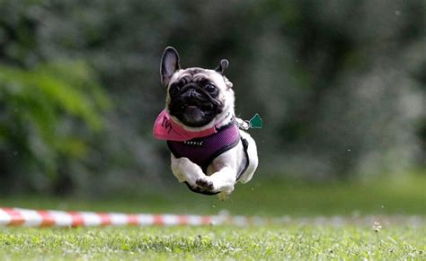 pugs running 12 pugs totally defying the laws of physics