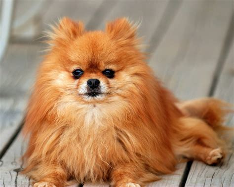 pomeranian brown pomeranian temperament exercise and grooming inspirationseek
