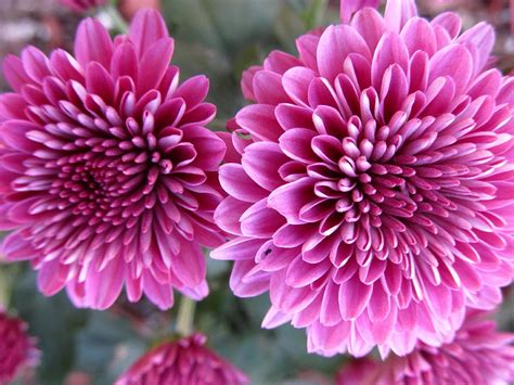 purple mums photograph by lisa bahns