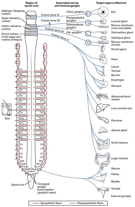 15 1 divisions of the autonomic nervous system anatomy