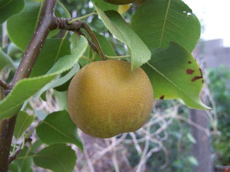 trees   nursery shinko asian pear