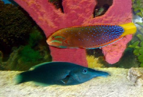 green bird wrasse the fish
