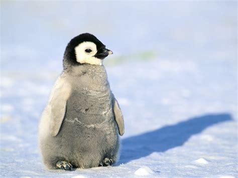 Penguin S baby penguin images www pixshark images