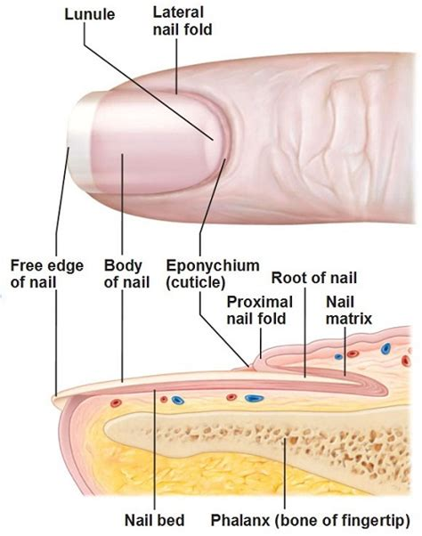 nail bed anatomy image gallery nail anatomy
