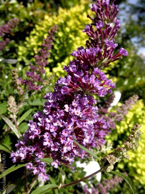 shrub with fragrant purple flowers buddleia purple emperor purple emperor butterfly bush