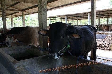Bibit Sapi Untuk Penggemukan analisa usaha penggemukan sapi potong skala 50 ekor