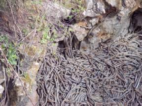 Garter Snake Den Narcisse Snake Dens Gimli Canada Atlas Obscura