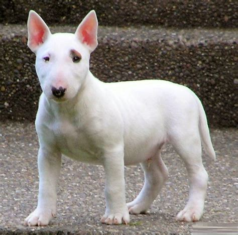 bull terrier bull terrier puppies rescue pictures information