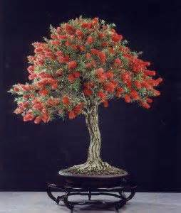 fruit p bonza 30 best bonza bonsai images on bonsai trees
