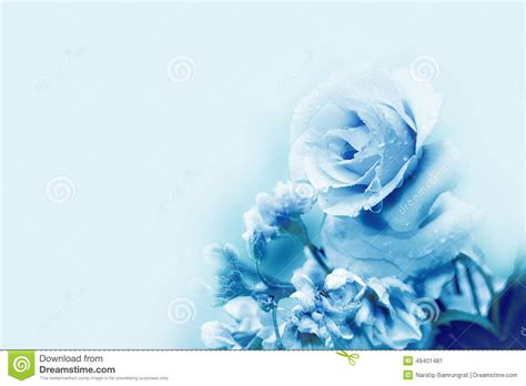 light blue and white roses beautiful blue rose in magic light spring stock image