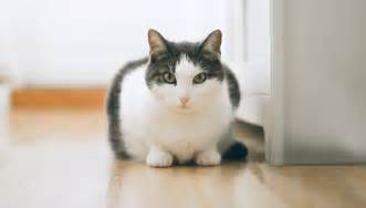 om overweight management cat food pro plan veterinary diets